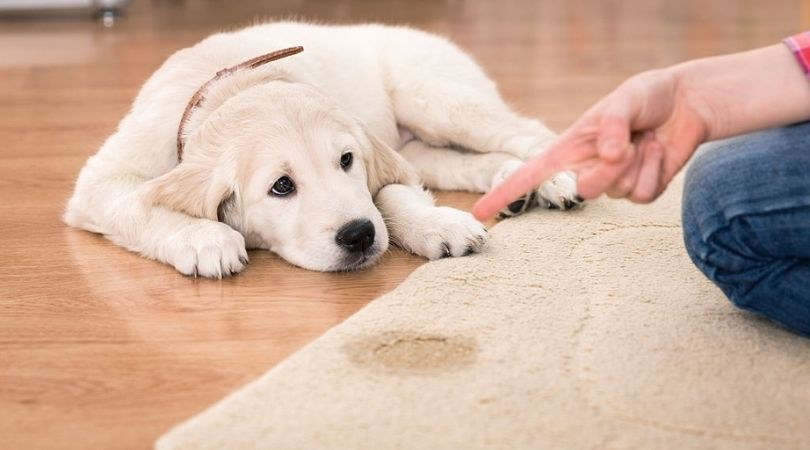 Pet Stain Remover Carpet Cleaning Homestead